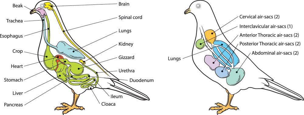 bird aves vertebrate anatomy air sacs pneumatic hollow bones