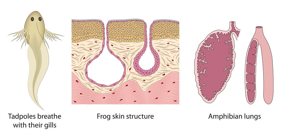 frog skin respiration lungs cutaneous