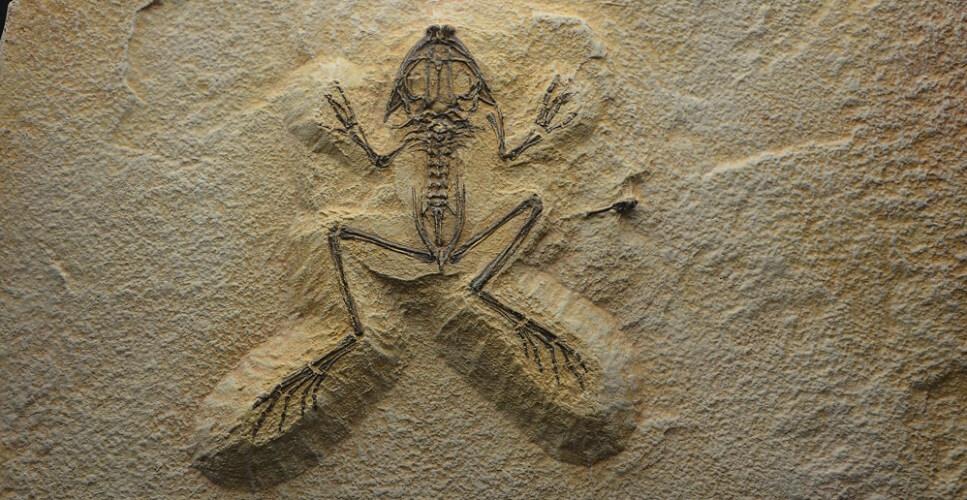 frog skeleton fossil amphibian vertebrate