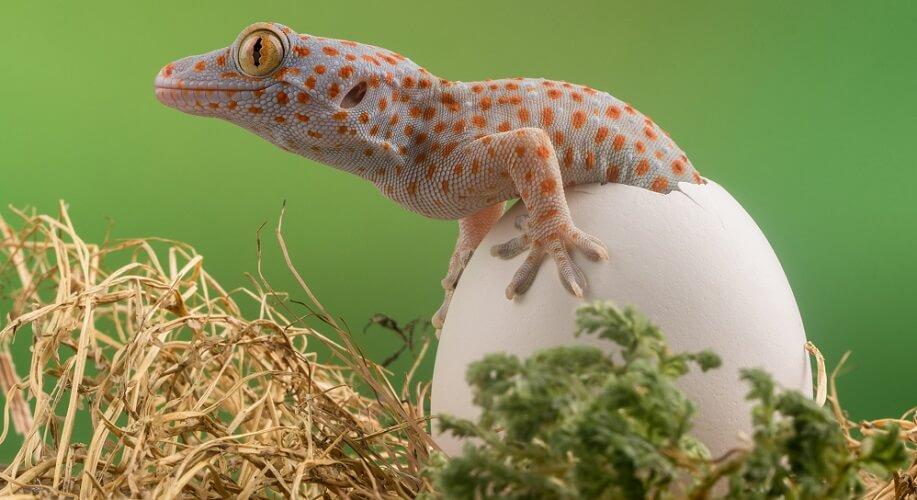 leopard gecko gekko hatching egg reptile animalia vertebrate