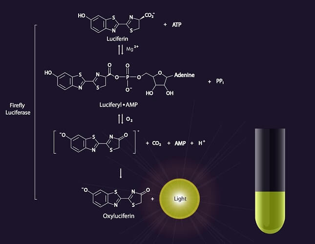 luciferin luciferase reaction bioluminescence luminescence