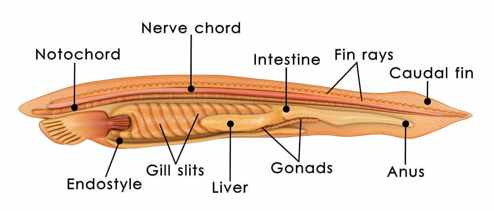 notochord chordate vertebrate