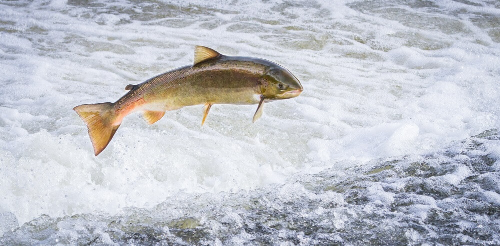 atlantic salmon jumping sea ocean fish vertebrate animalia