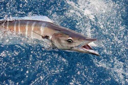 A wahoo at the surface chasing prey