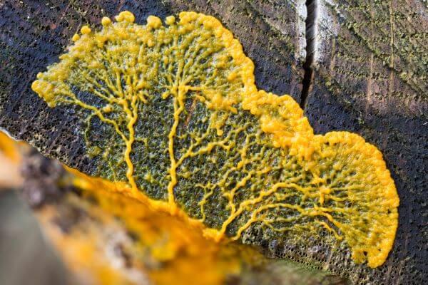 Slime molds are fungi-like protists