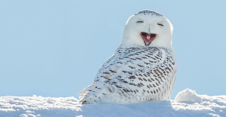 snowy owl Bubo scandiacus arctic aves animalia vertebrate