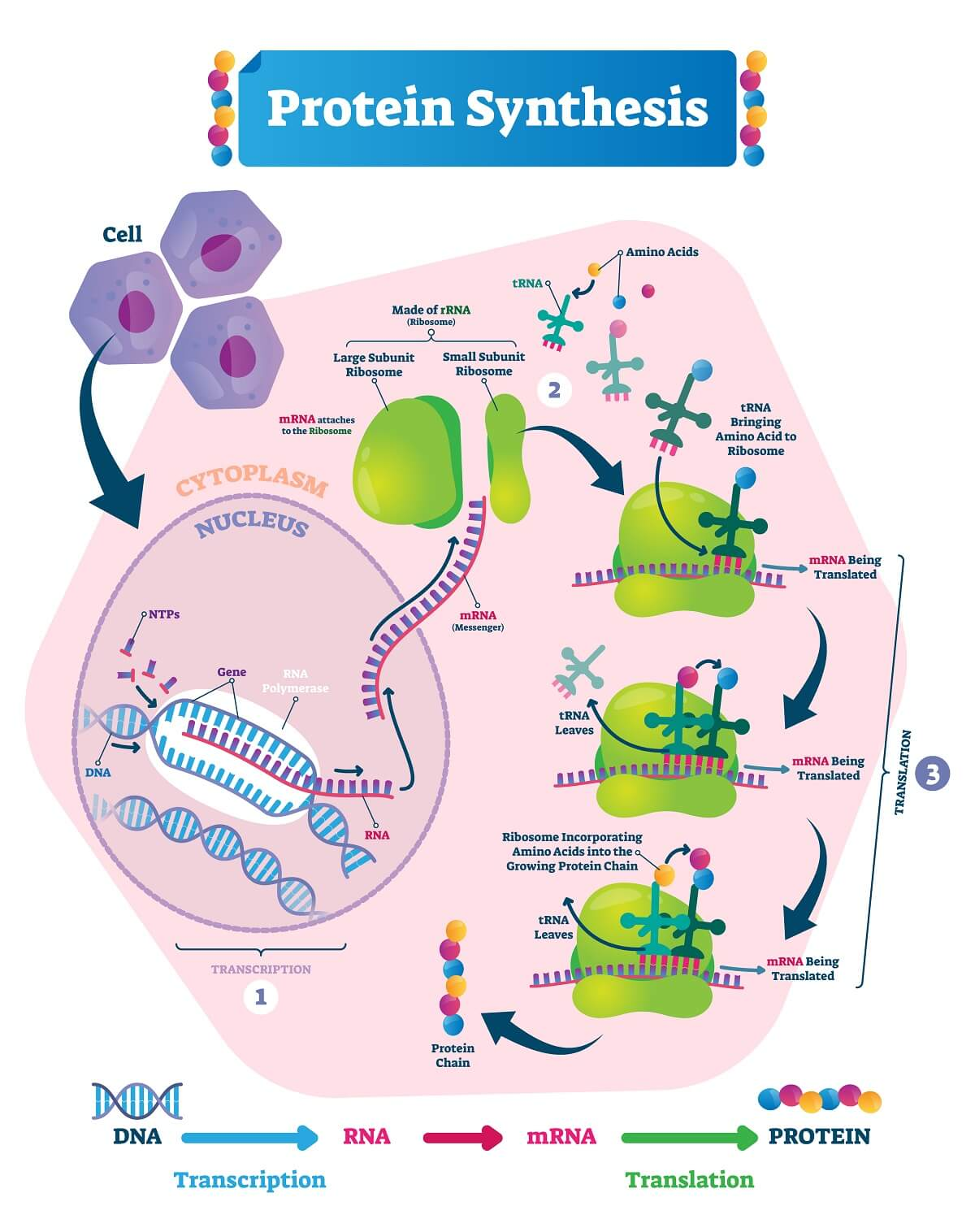 Any mutations in the process of protein synthesis can lead to issues in signal transduction