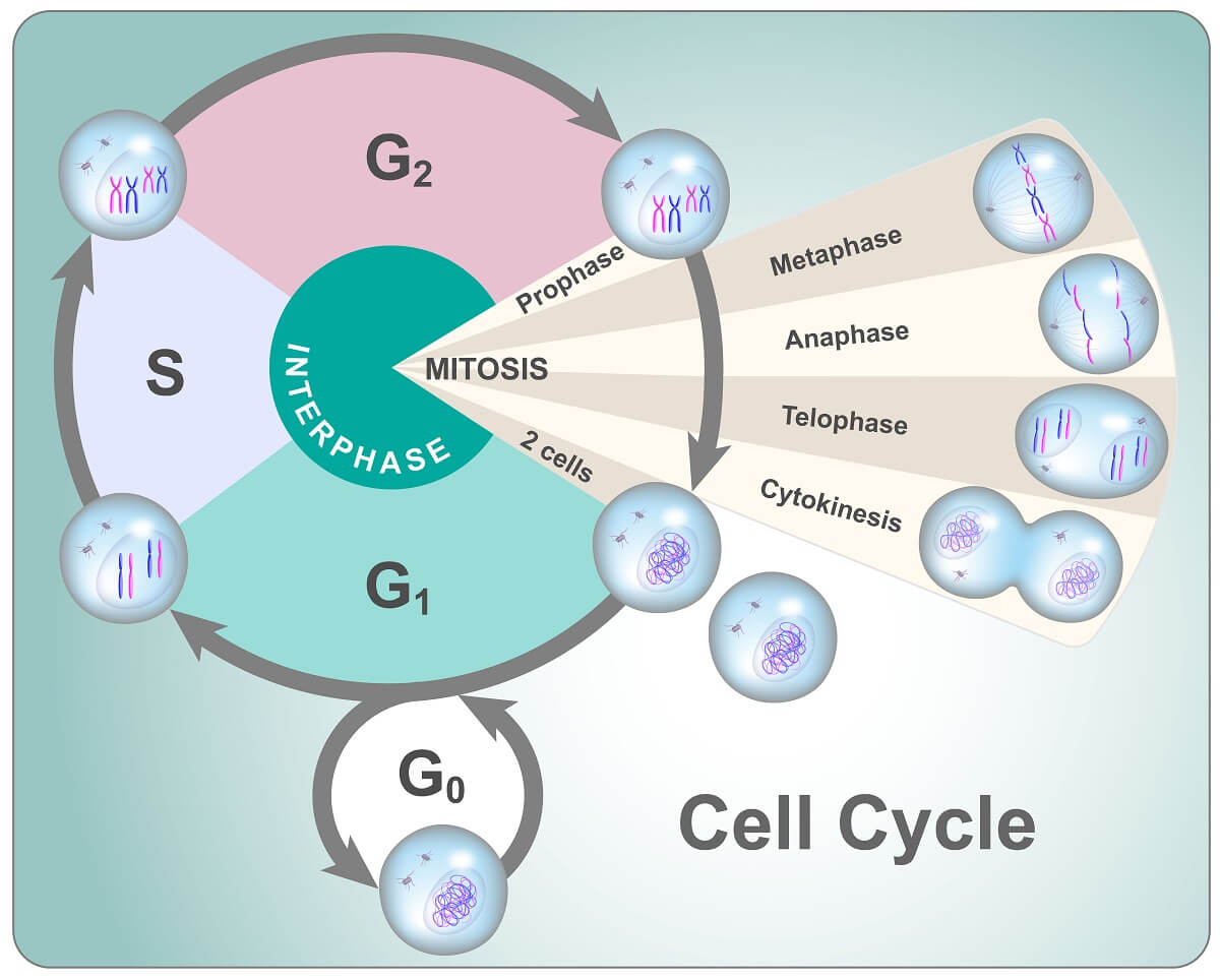 The cell cycle is composed of two basic parts: interphase and cell division (or Mitosis in the case of eukaryotes.)