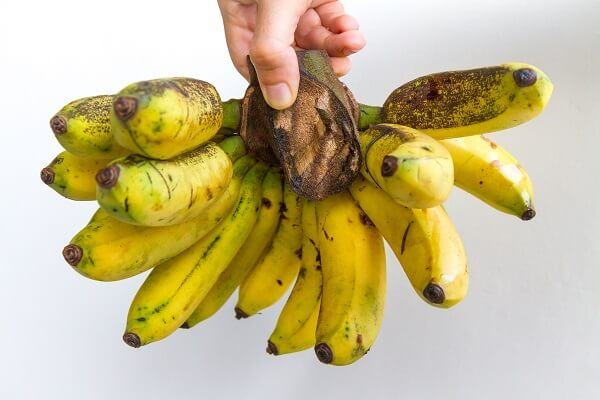 Gros Michel bananas are no longer found in grocery stores, and only a few are left in the wild
