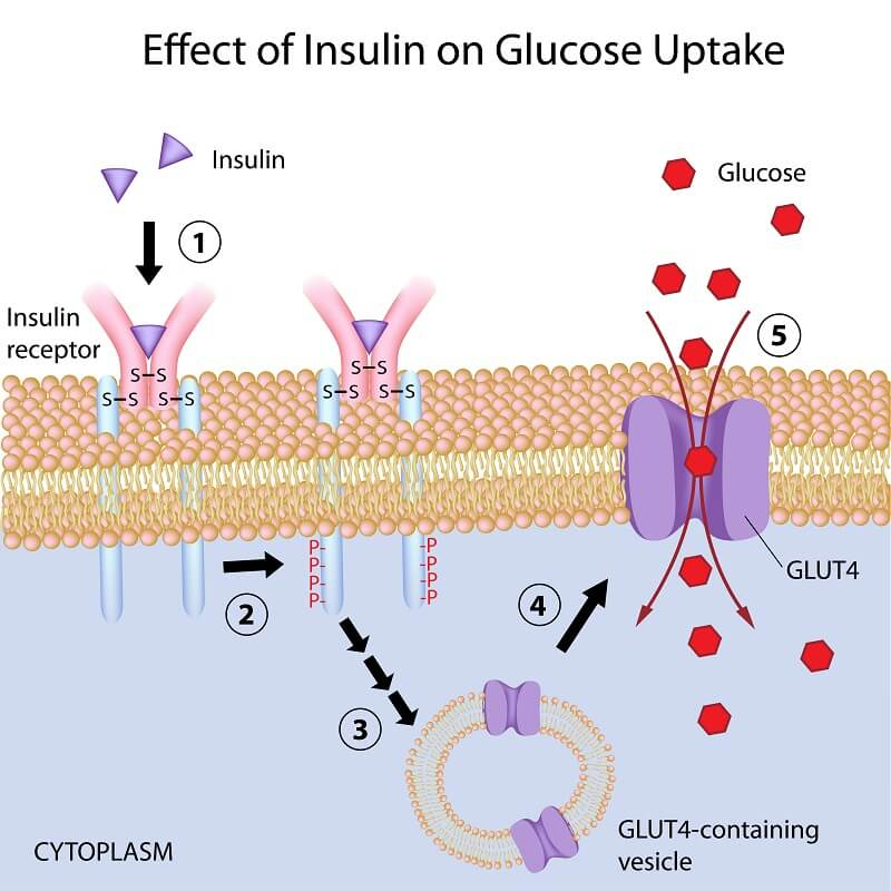 The insulin response is very susceptible to changes and mutations, and there are many diseases related to when it goes wrong