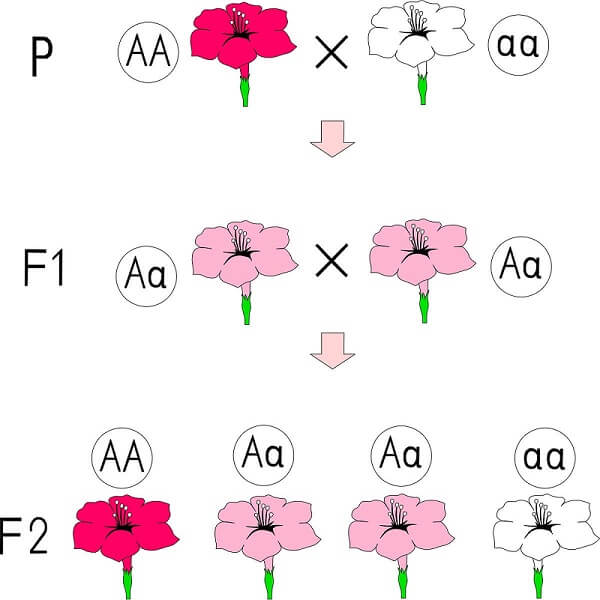 Different alleles are carried on homologous chromosomes and can lead to different phenotypes