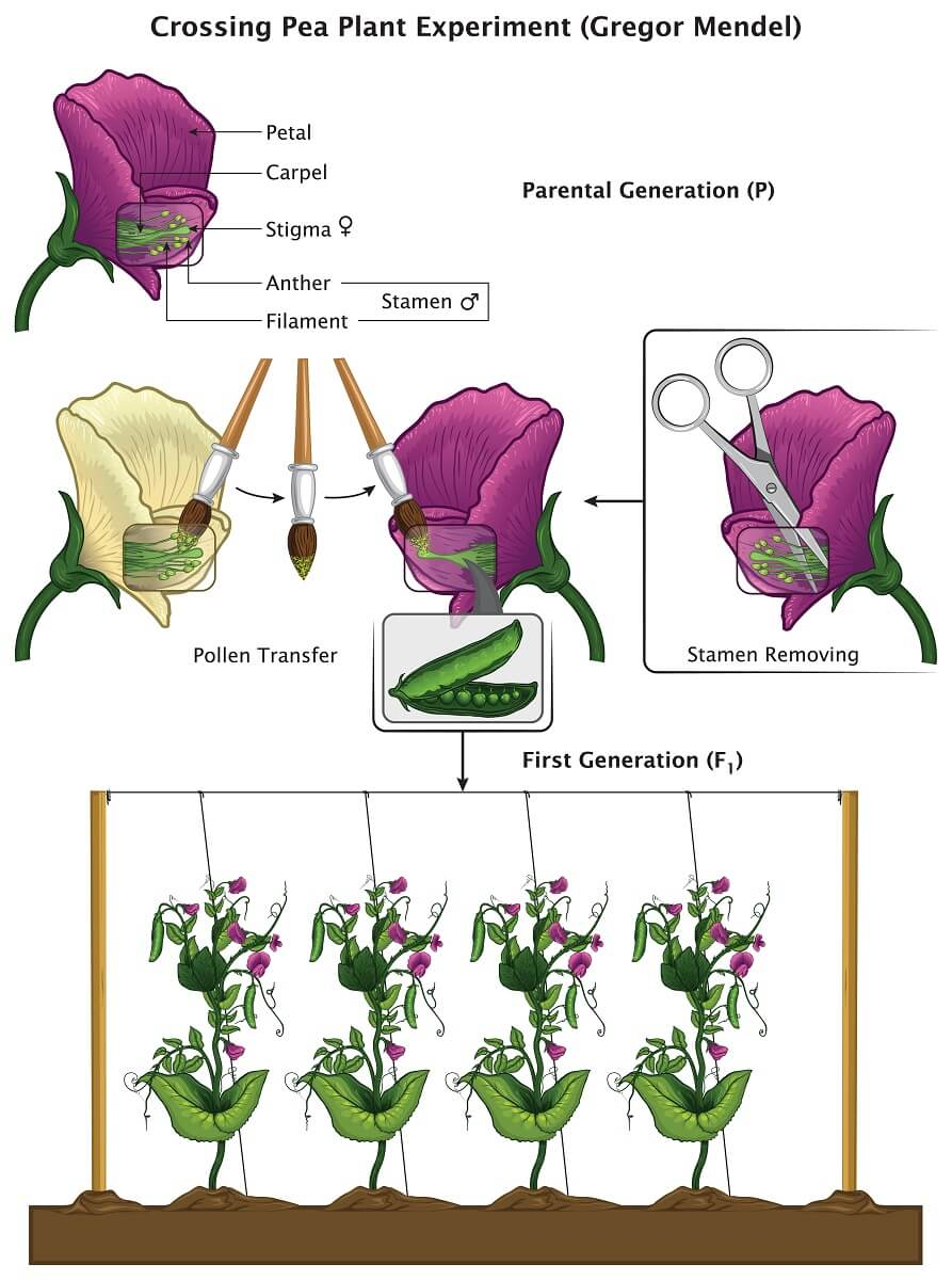 Mendel ensured specific matings of different pea plants by removing the stamen of one plant and transferring pollen using a paintbrush