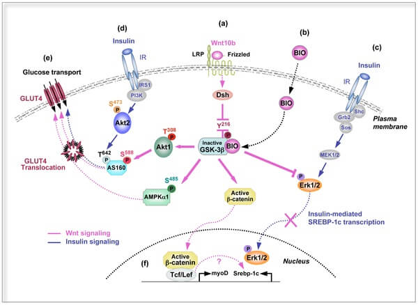 The WNT pathway involves dozens of proteins and enzymes, each of which is susceptible to mutations and other changes