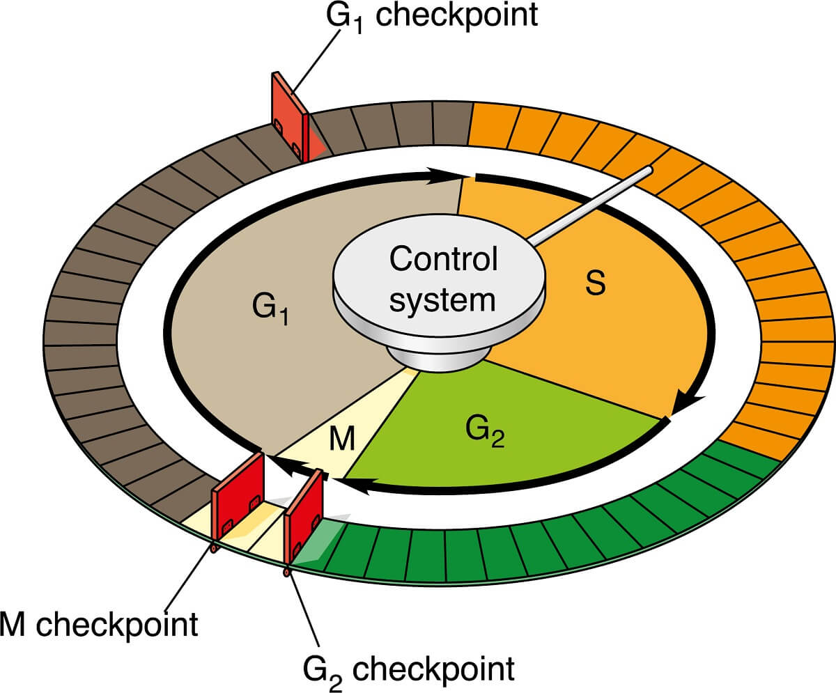 These are the most important cell cycle checkpoints, which ensure the cell cycle stays on track.