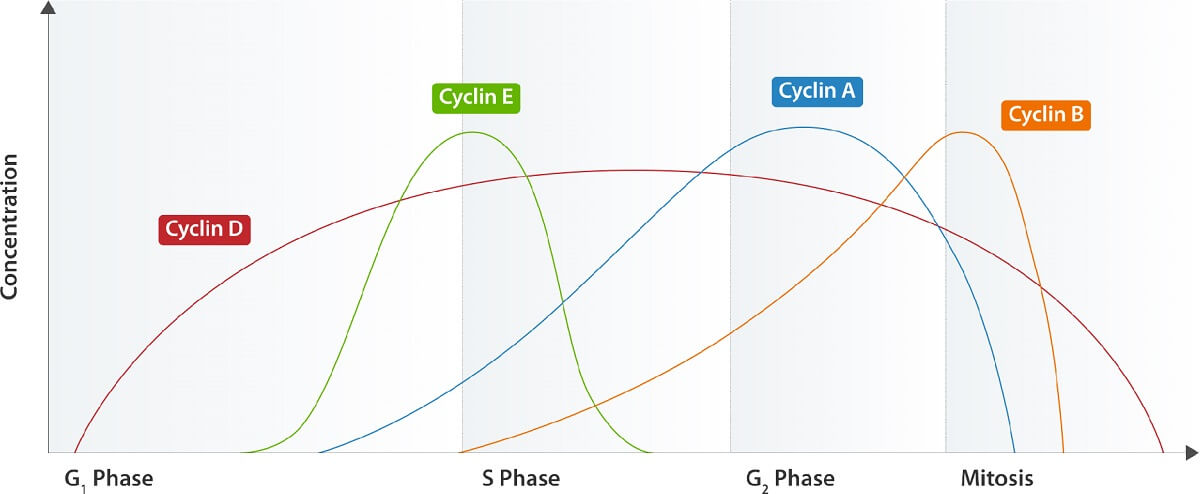 This graph shows the cyclins of a theoretical (and very simple) cell cycle and the several cyclins involved