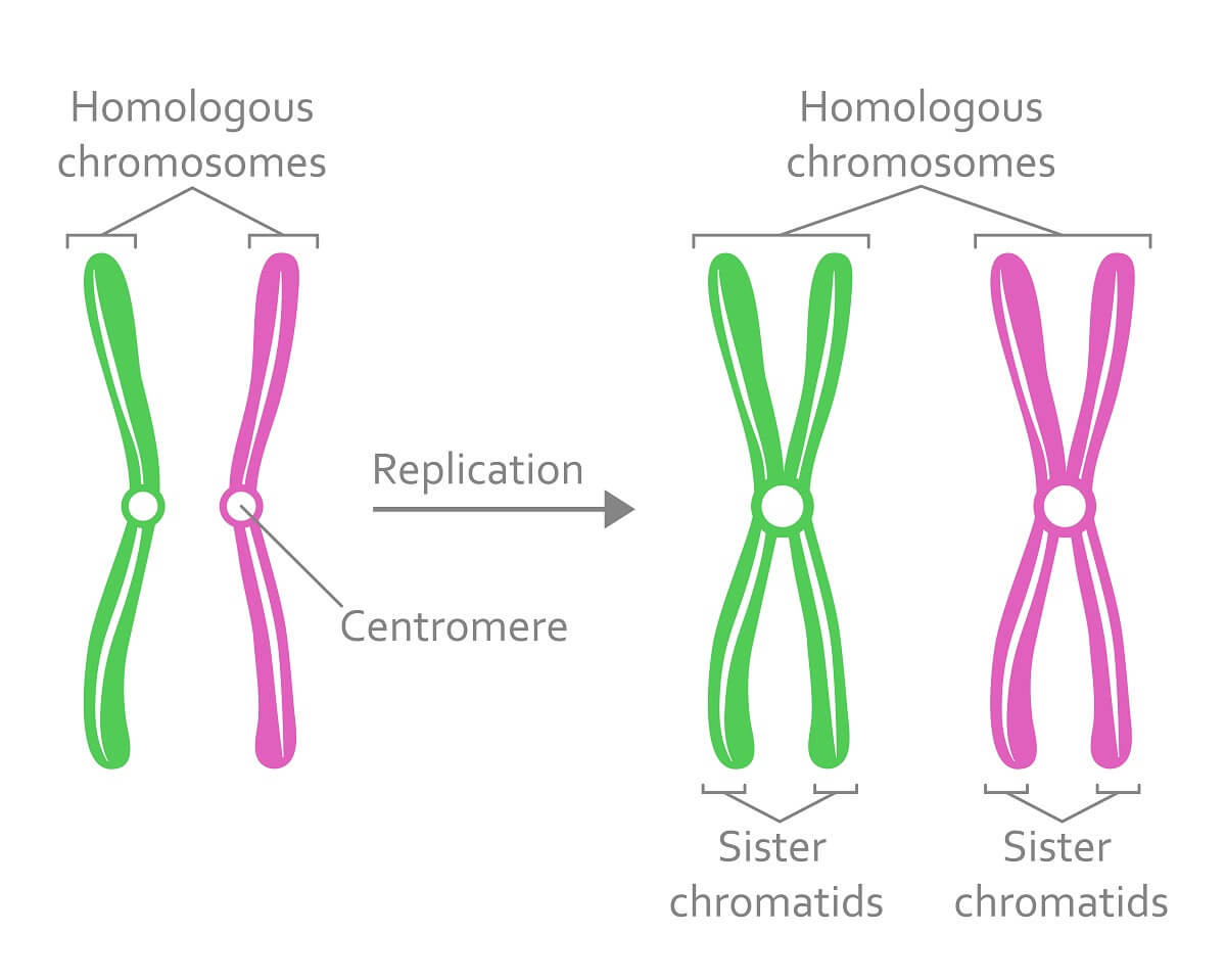 As homologs are replicated, there are 4 copies of each gene