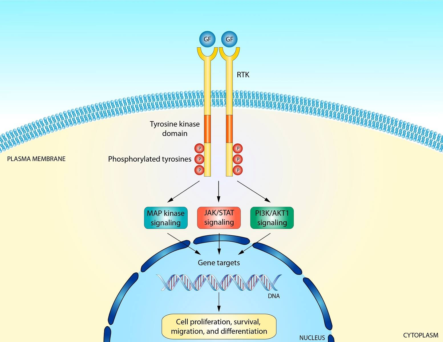 Receptor Tyrosine Kinase Proteins in the RTK pathway are known for dimerization