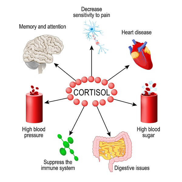 Cortisol creates a huge variety of responses in different tissues throughout the body