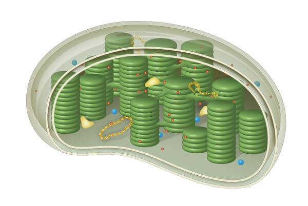 Chloroplasts are the site of photosynthesis in plant cells