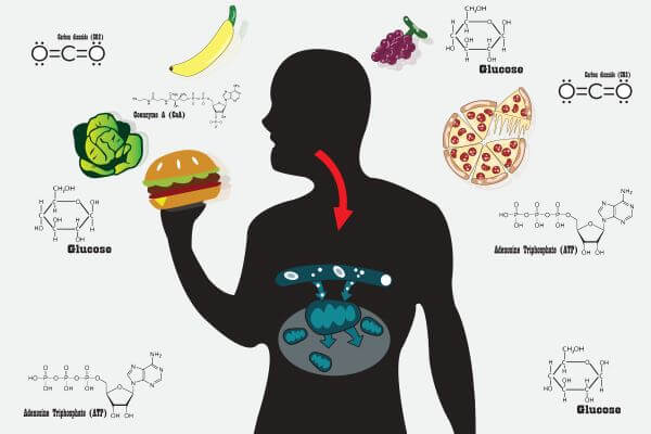 Digestion and cellular respiration are catabolic reactions