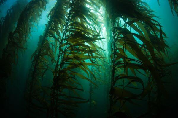 Giant kelp is a type of brown algae