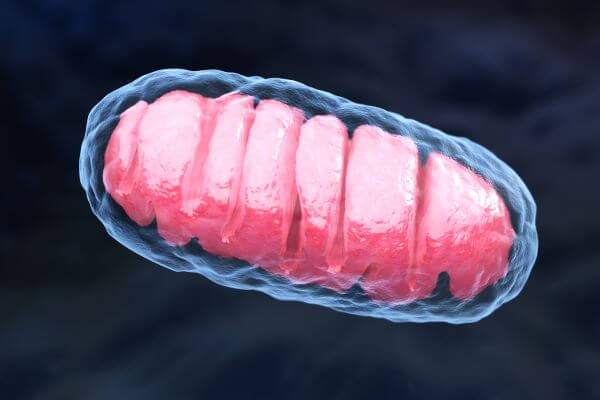 Mitochondria are the site of cellular respiration