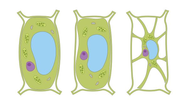 Plant cells contain a large vacuole