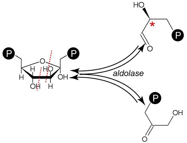 aldolase glycolysis enzyme