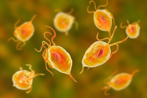Protozoa are animal-like protists