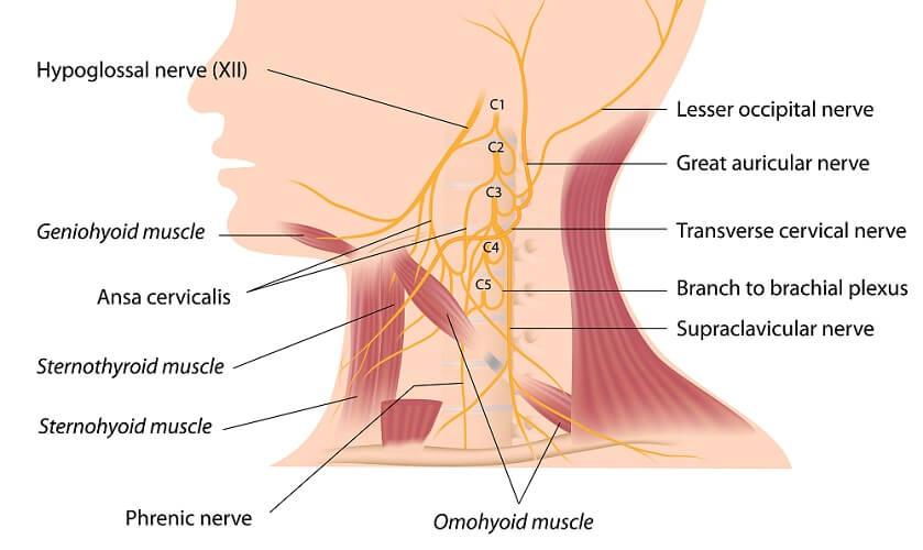 cervical plexus neck nerves cranial