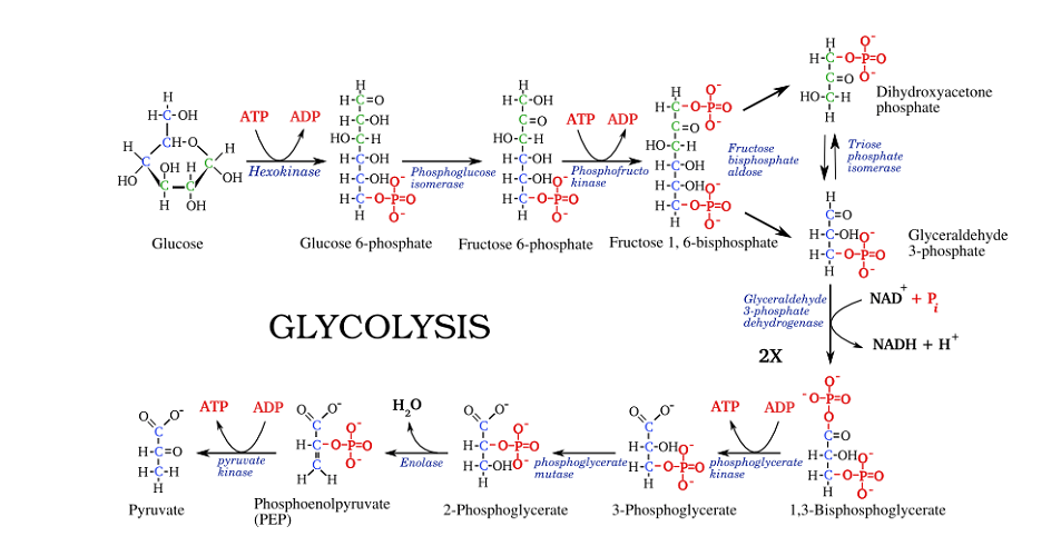 glycolysis steps ATP ADP NAD NADH pyruvate glucose