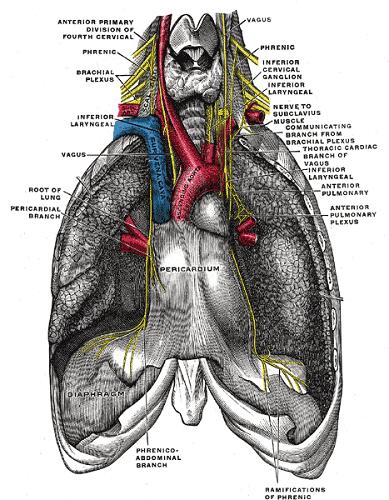phrenic nerve aorta pericardium thoracic cavity diaphragm