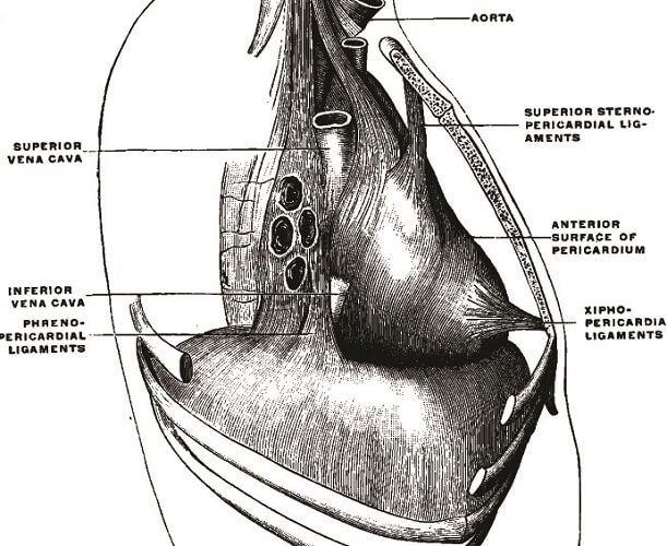 phrenopericardial ligament diaphragm thorax
