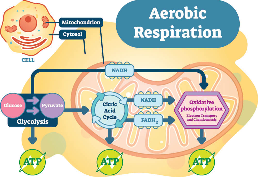 cellular respiration ATP ADP pyruvate acetyl-CoA glycolysis aerobic anaerobic