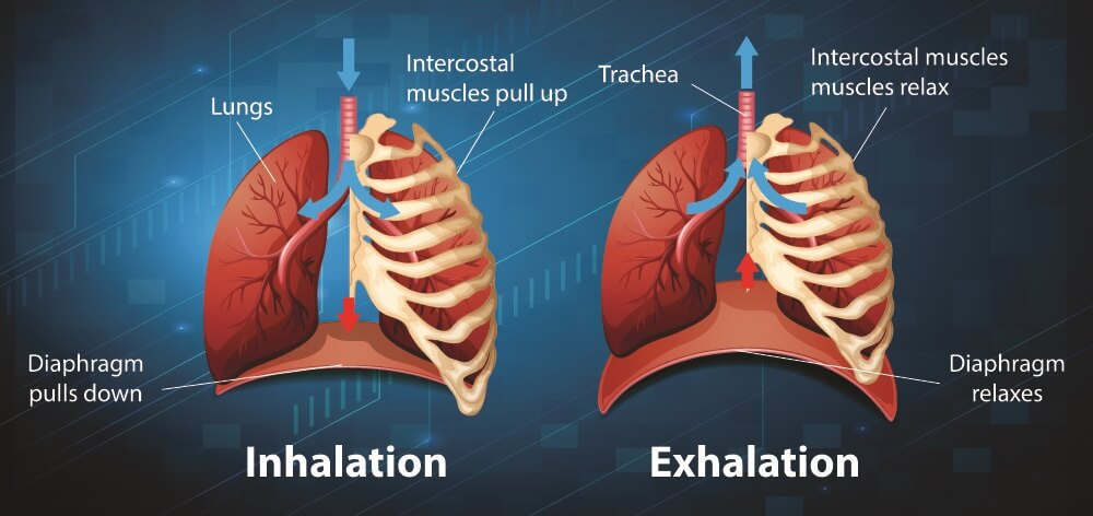 respiratory muscle movement inhalation exhalation inspiration expiration ribs lungs diaphragm