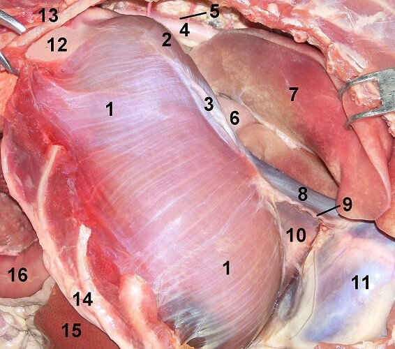 phrenic nerve diaphragm pericardium thoracic cavity