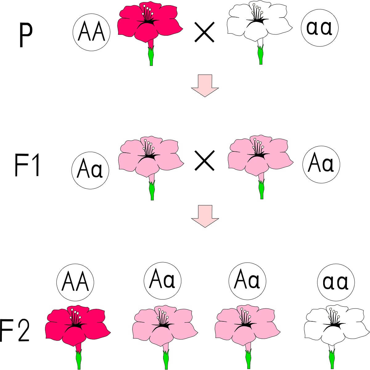 Incomplete dominance produces a heterozygote that shows a novel phenotype compared to the two homozygous phenotypes.