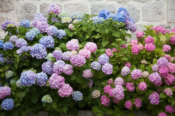 Hydrangea blooms vary in color from red to blue, depending on the soil pH.