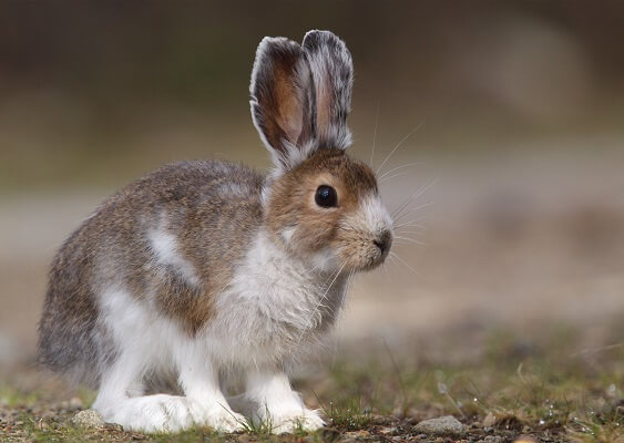 A hare during a molting event, halfway between the white winter coat and the brown summer coat.