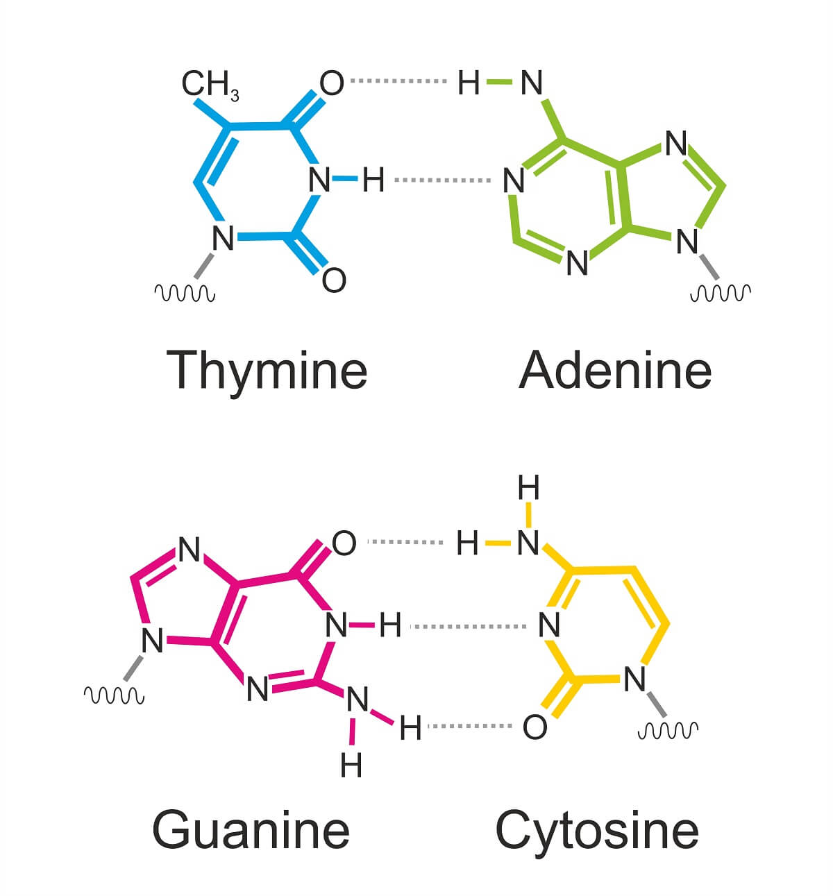 Base pairing only occurs between complementary nucleotides.