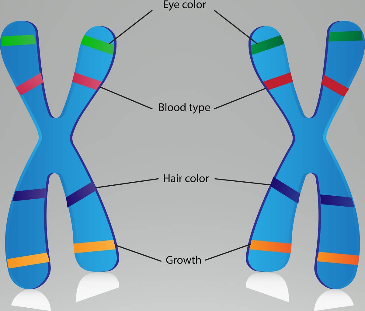 Linked genes are located on the same chromosome, and these genes can only be separated via crossing over.