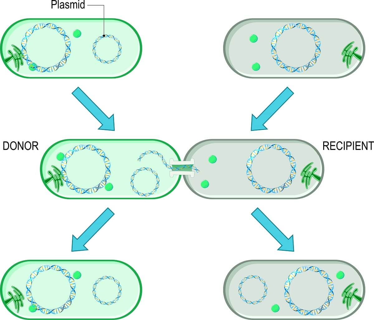 During bacterial conjugation, one bacterium can pass plasmids to another bacterium.