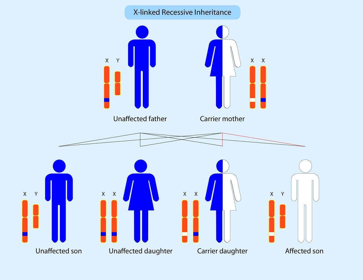 Sex-linked disorders are inherited in non-Mendelian ratios because sex chromosomes are not equally distributed to male and female offspring.