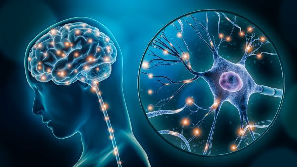 A nerve cell is a basic functional unit of the nervous system