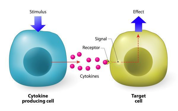 Cytokines secreted by helper T cells activate all other immune cells