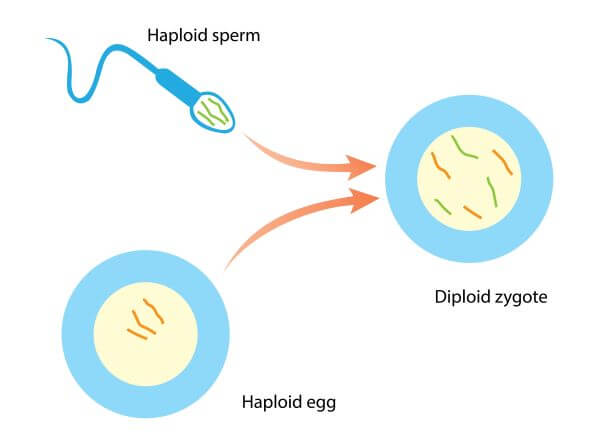 Humans have a diploid-dominant life cycle