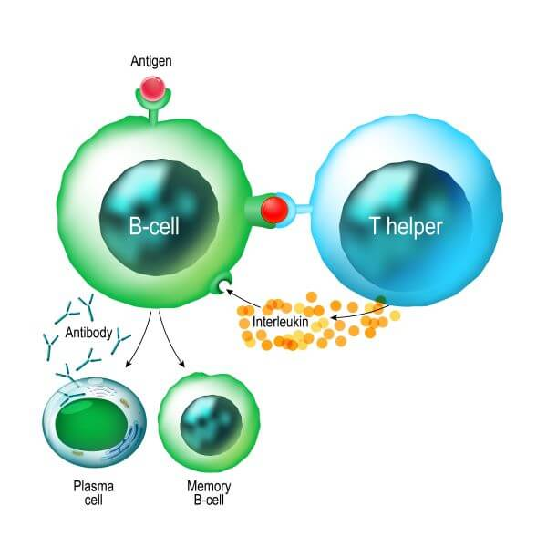 Helper T cells stimulate the proliferation and differentiation of B cells