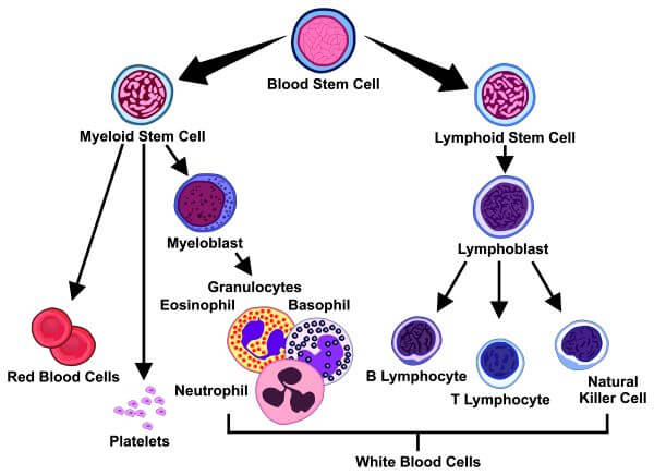 Natural killer cells develop in the bone marrow, spleen, lymph nodes, and tonsils