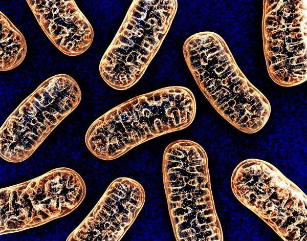 Plant and animal cells both contain mitochondria