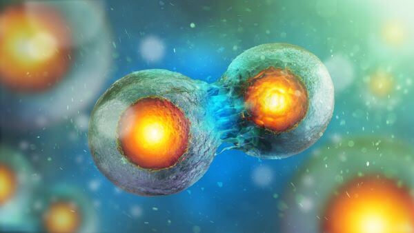 During mitosis, a cell makes a complete copy of it's DNA